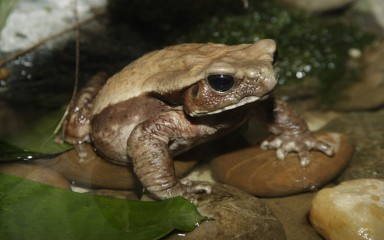 A robust toad with a creamy back and darker brown sides