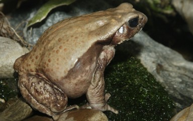 Side view of a large brown toad