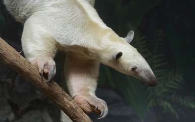 Pale-furred animal with a long snout on a branch