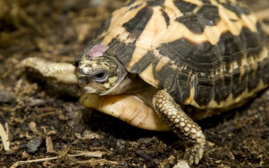 A spider tortoise that has a dark brown shell with a yellow, webbed pattern