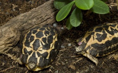 Two spider tortoises that have dark brown shells with yellow, webbed patterns