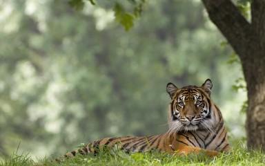 sumatran tiger laying in the grass