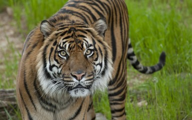 Sumatran tiger looks head-on