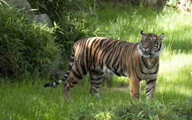 Sumatran tiger walking in grass