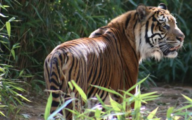 Sparky the Sumatran tiger standing in grass