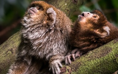 two diminutive monkeys with dense copper and gray-colored fur on body and reddish-brown fur on head, mouths open vocalizing