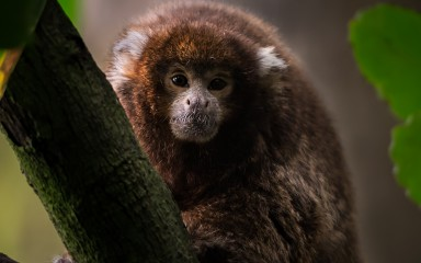 diminutive monkey with white ears, dense copper and gray-colored fur on its body and reddish-brown fur on its head.