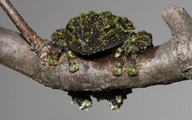 Frog on a branch with incredibly warty skin in varying shades of green