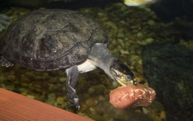 turtle eating underwater