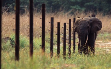 elephant walking along a fence