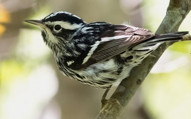 A black-and-white warbler perched on a branch