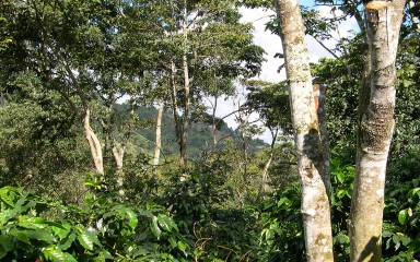 A Honduran shade coffee farm