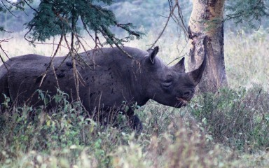 black rhino in brush