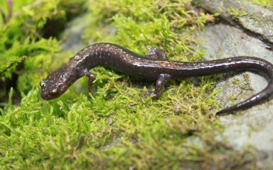 salamander on a rock covered with moss