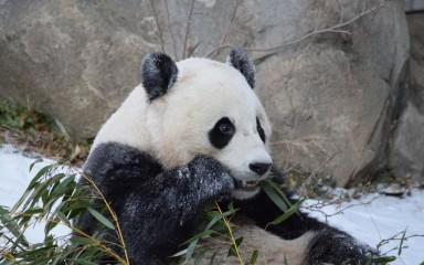 Giant panda Bao Bao eats a piece of bamboo outside in the snow
