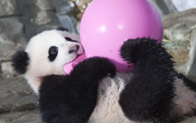 Giant Panda with Jolly Ball