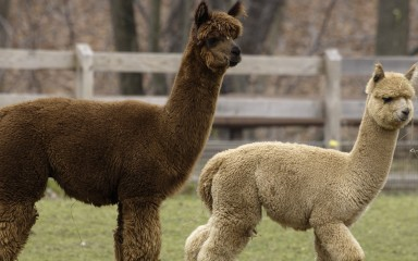 alpacas at the kid's farm