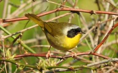 common yellowthroat: a small migratory bird with a dark mask by Gregory Gough