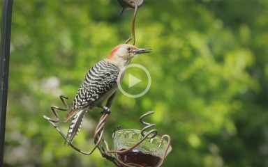 a woodpecker with a grub in his beak rests on a birdfeeder