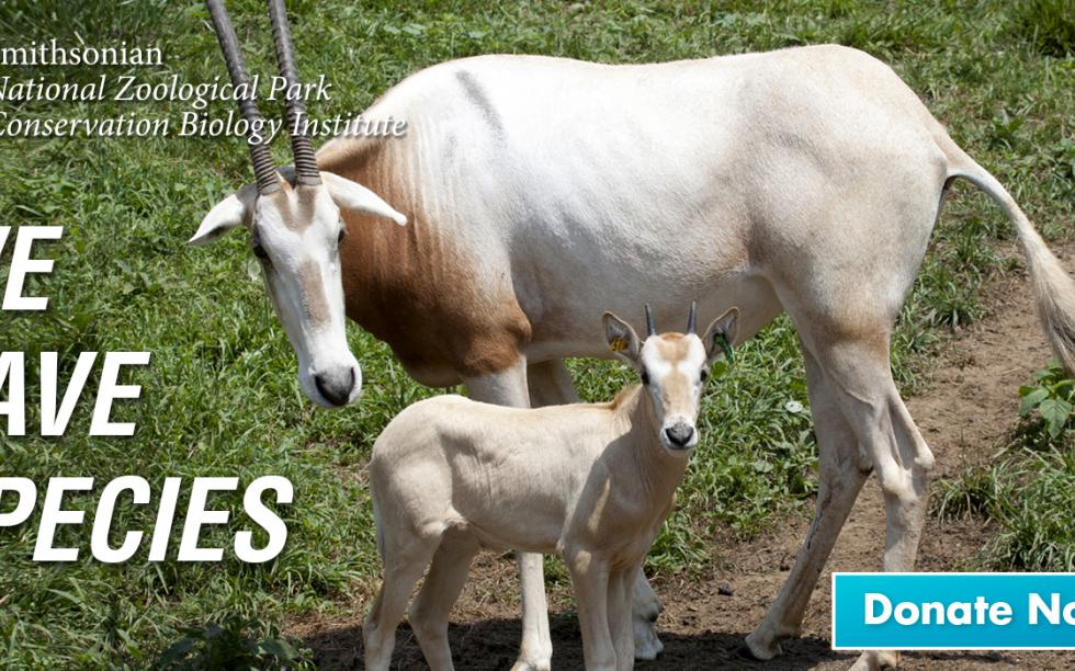 Scimitar-horned oryx and calf