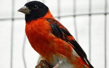 red siskin sitting on a branch
