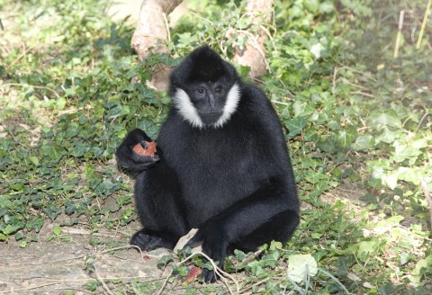 White-cheeked gibbon Sydney in his habitat at Gibbon Ridge.