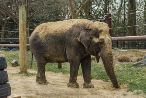 Asian elephant Ambika at the Smithsonian's National Zoo's Elephant Trails habitat in 2016.