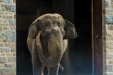 Asian elephant Shanthi at the Elephant Trails exhibit.
