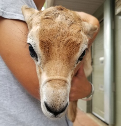 A zookeeper holds a newborn dama gazelle calf at the Smithsonian's National Zoo