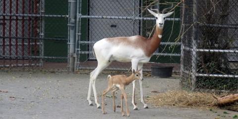 Dama gazelle Fahima and her female calf, born Oct. 9.