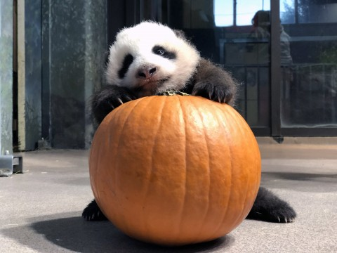 A 10-week-old giant panda cub with black-and-white fur, round ears and small claws climbs onto a pumpkin.