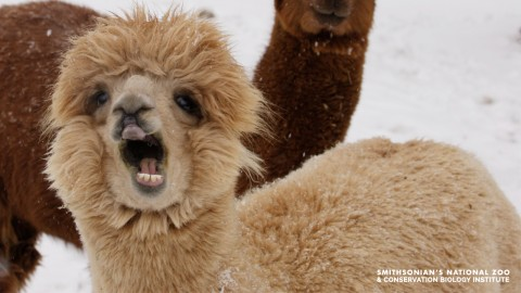 An alpaca with its mouth open. It's covered in thick fleece and standing in the snow