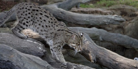 A medium-sized cat with thick fur with dark spots and stripes, called a fishing cat, walks along some longs