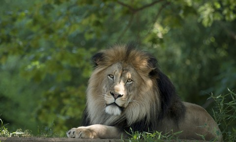 A male African lion laying on the ground with greenery in the background