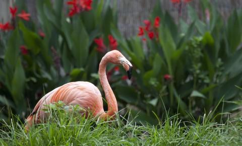 flamingo sitting in grass