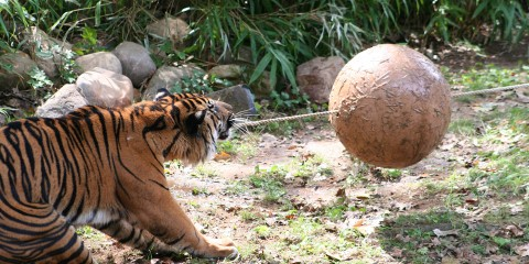 a tiger pulls on a rope connected to a large rubber ball
