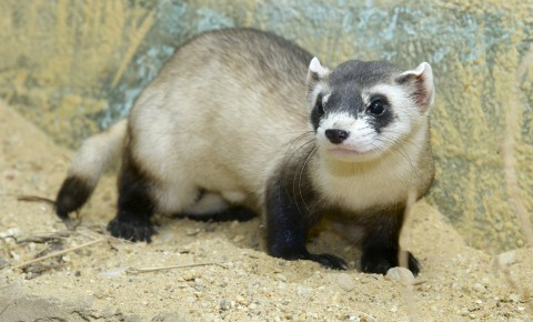 Long, weasel-like tan critter with black legs and a black mask