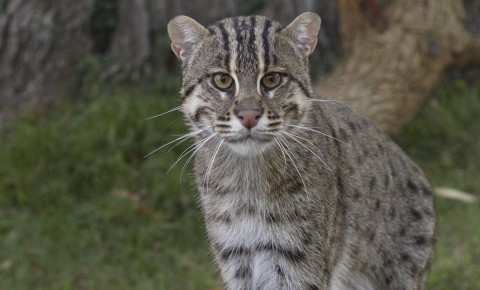 """Tabby"" cat-like animal facing forward. It has gray fur dappled with darker spots and stripes"