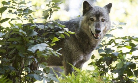 Why Do Wolves Howl? And Other Top Wolf Questions Answered