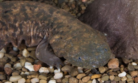 large, fat salamander with a big head and mottled olive coloration that blends in with the gravel. Its sides are wrinkled.