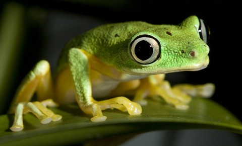 lemur tree frog