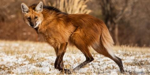 maned wolf running across snowy field