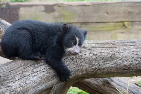 andean bear cub lays down