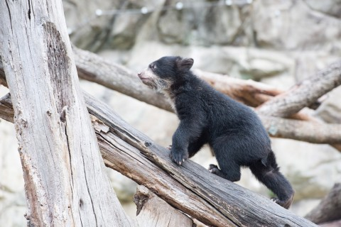 andean bear cub walks up large branch