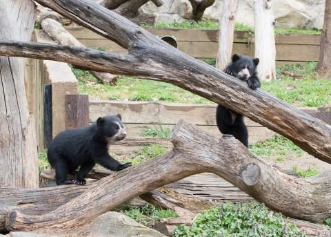 Andean bear cub climbs