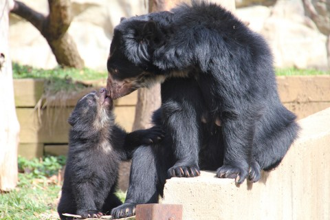 Andean bear cub and mother touch noses