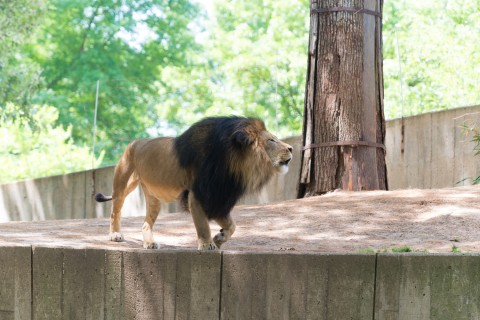 Male lion strolling through exhibit