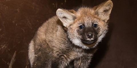 Maned wolf pup stares at the camera