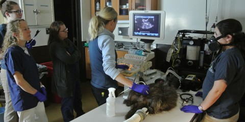 Vets examine Quillby, the North American Porcupine during ultrasound