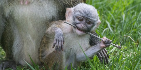 Swamp monkey baby plays with stick